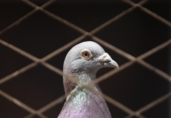 A pigeon is seen in a cage at a yard, in central Beijing